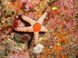 BD-070403-Similan-4030214-Fromia-monilis-(Perrier.-1869)-[Peppermint-sea-star].jpg